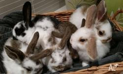 6 beautiful purebred 8 week old mini lop bunnies