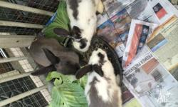 I have 5 beautiful rabbits, in white and grey colours.
