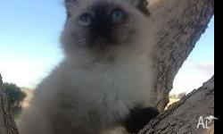 I have some beautiful Ragdoll kittens on offer. I am a