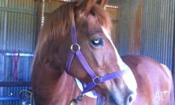 Expression Of Interest: Beautiful Chestnut stock horse