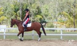 7 year old bay thoroughbred gelding, measured at 16hh,