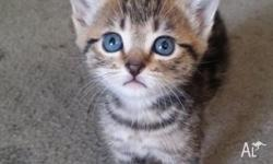 hi i have 4 very lovely bengal X kittens with blue eyes