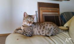 My beautiful bengal girl will only be sold to the very