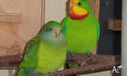 Pair of mature superb parrots ready to breed basic