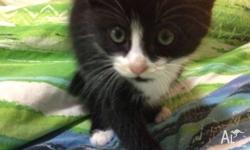 Beautiful black and white 9 week old female kitten very