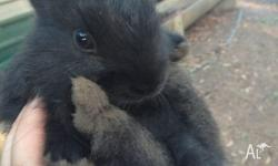 Black baby rabbits for sale. Ready for pick up from