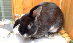 Beautiful 8 month old female Lope Earred Rabbit - black