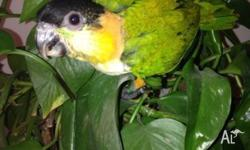 2 baby black headed caiques hand raised after 3 weeks