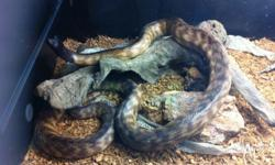 We have a nice 5-6ft Black Headed python for sale.