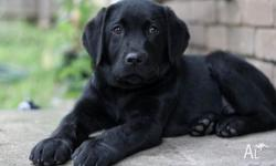 We're selling our Black Male Labrador Retriever Puppy