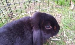 I have a black mini lop buck looking for his new home