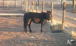 black mini pony about 8hh un sure of her age i was not