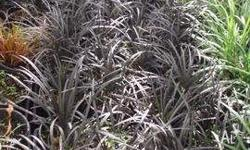 Black Mondo Grass Excellent for borders and rockeries.