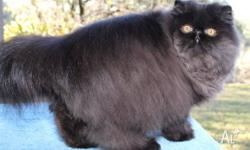 I have a beautiful black persian male kitten who got