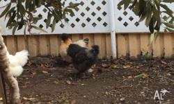 Unfortunately our black Silkie rooster has started