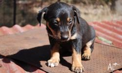 BLACK & TAN KELPIE PUPS 6 WEEKS OLD. 3 M, 4 F BOTH