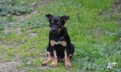 Red Dust Kelpie Stud - 2 Black and Tan male Kelpie