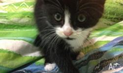 9 week old female black and white kitten available for