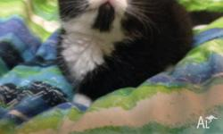 9 week old male black and white kitten available for