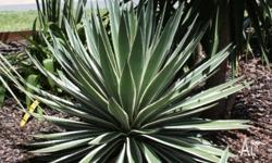 Blue Agave Cactus (feature plant) - $5 for 3 small