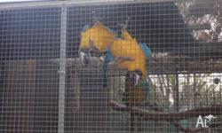Beautiful, bonded nearly 5 year old pair of macaws.