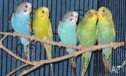I have available blue and green young budgies - just