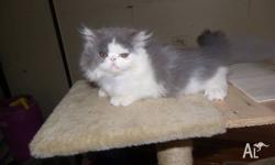 Lovely natures blue and white male kitten very friendly