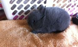 I have for sale a gorgeous blue buck Netherland dwarf