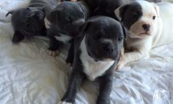 7 puppies, born 12�7�15. 5 Females and 2 Males. 1 Blue