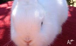 Rose Cottage Rabbitry has available now a beautiful