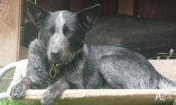Pepper is a small female blue heeler who is desexed,
