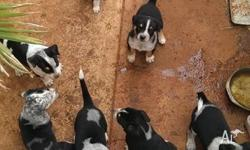 Blue Heeler X puppies. Wormed/vaccinated/vet-checked,