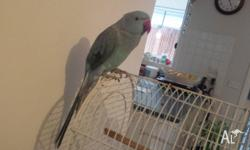 tame male indian ringneck for sale his about 8 months