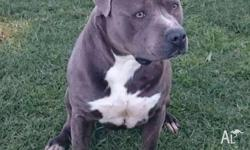 Blue Male American Staffordshire Terrier for sale.