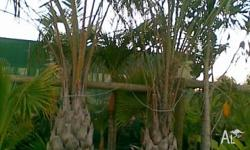 Blue Palm large Wine Palm displays blue grey foliage
