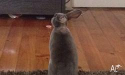 We have a blue rex rabbit for sale. She loves to roam