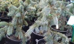 Blue spruce dwarf variety growing only to 2mtsX1mt