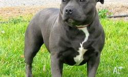 I have available 1 male & 2 female blue english staffy