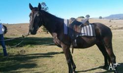 Blue is a 4 year old thoroughbred cross stock horse