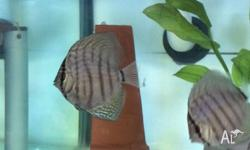 Blue turquoise/cobalt discus fish for sale 40$ starting