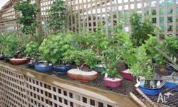 Bonsai Assorted bonsia & bonsia pots available at