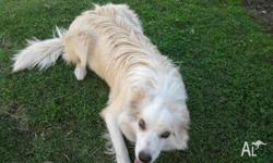 Beautiful Creamy Border Collie Female, Reluctant sale