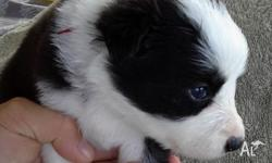 Black and White Border Collie Pups looking for a loving