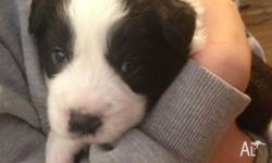 border collie for sale in South Australia Classifieds & Buy