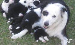 We have 7 pure bred (no papers) long haired black and
