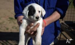 We have for sale 7 purebred border collie Puppies,