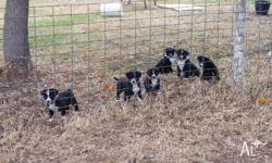 BORDER COLLIE PUPPIES FOR SALE Border Collie Male and