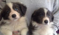 Females, blue and white, vaccinated, microchipped,