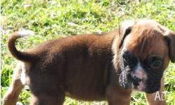 i have for sale one male boxer purebred puppy he is now