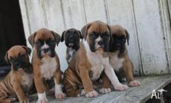 Beautiful pure breed boxer puppies for sale currently 5